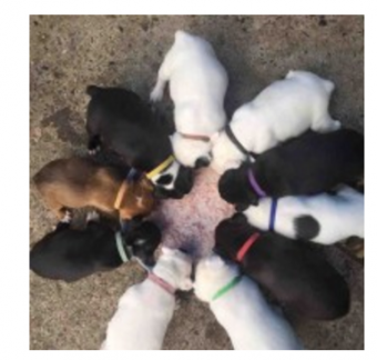 Whelping Identification Bands-1