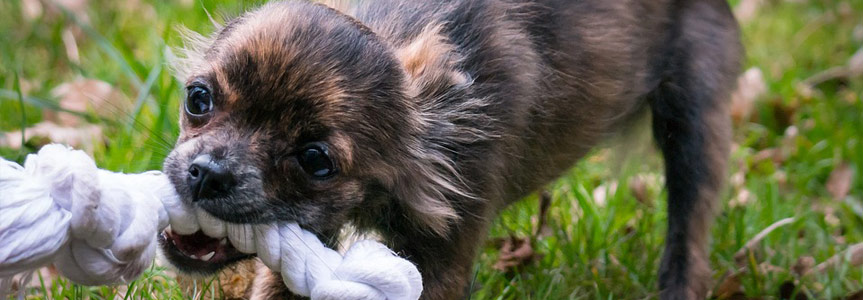 Health benefits of pet toys for your dog